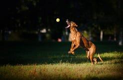 Hundridgeback som leker med bollen Fotografering för Bildbyråer