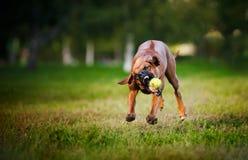 Hundridgeback som leker med bollen Arkivfoto