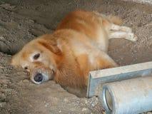 Hundsömn för guld- apportörer royaltyfria bilder