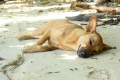 Hundsömn på stranden arkivbilder
