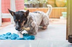 Hundsömnen och gnag benet arkivfoto