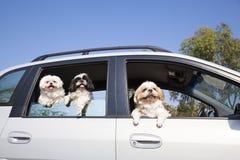 Hunds familj som tycker om i bilen Arkivbild