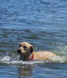 Hunds spelrumtid på laken Royaltyfri Fotografi