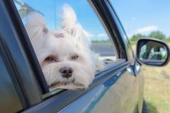 Hundsammanträde i en bil royaltyfri foto