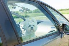 Hundsammanträde i en bil royaltyfria bilder