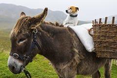 Hundsammanträde på en ponny i Irland arkivbild