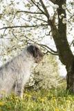 Hundsammanträde under den körsbärsröda blomningen Royaltyfri Foto