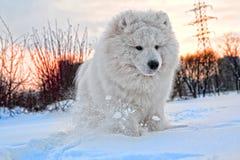 hundsamoyed Royaltyfri Fotografi