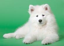hundsamoyed Arkivbild