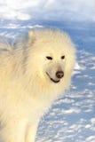 Hundsamoyed auf Schnee Stockfotos