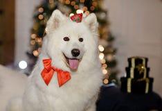 HundSamoyedsammanträdet på soffan på jul, närbild arkivfoton