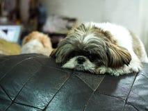 HundshihTzu förälskelse att koppla av royaltyfri bild
