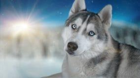 Hundsibirisches hasky auf Winterhintergrund hohe ausführliche Gesamtlänge 4K Geschossen auf Kinokamera der schwarzen Magie stock video