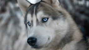 Hundsibirisches hasky auf Winterhintergrund hohe ausführliche Gesamtlänge 4K Geschossen auf Kinokamera der schwarzen Magie stock video footage