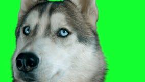 Hundsibirisches hasky Grüne ausführliche Gesamtlänge 4K des Schirmes in hohem Grade Säubern Sie Alpha Geschossen auf Kamera 4K de stock video footage