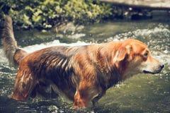 Hundsimning i floden royaltyfria foton