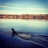 Hundsimning i sjön Arkivbilder