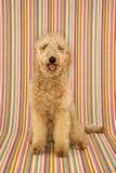 Hundsitzendes lookinng am Projektor stockbilder
