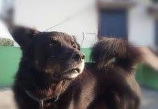 Hundskönhet i svart arkivbild