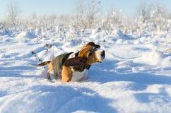 Hundskakor från snön Beagle som går i filden Ny dag för vinter royaltyfri fotografi