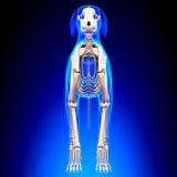 Hundskelett - Canis Lupus Familiaris Anatomy - främre sikt royaltyfri fotografi