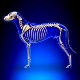 Hundskelett - Canis Lupus Familiaris Anatomy - sidosikt Royaltyfri Fotografi