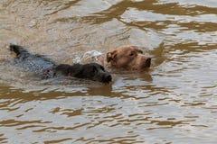 Hundskovel för två hundkapplöpning i floden som jagar efter kastad boll fotografering för bildbyråer