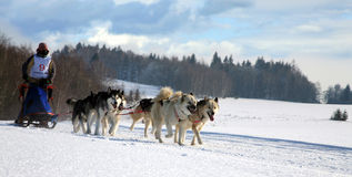 hundsled Arkivbild