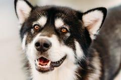 Hundslut för alaskabo Malamute upp ståenden Arkivfoton