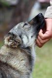 Hundsmekning Fotografering för Bildbyråer