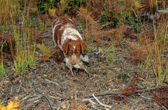 hundspanielmorkulla Arkivfoton