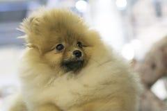 Hundspitz-Nahaufnahme Lizenzfreie Stockbilder