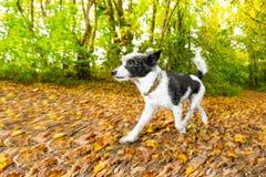 Hundspring eller gå i höst fotografering för bildbyråer