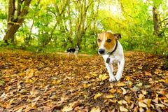 Hundspring eller gå i höst royaltyfri bild