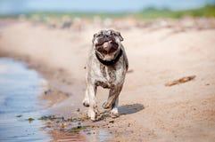 Hundspring för Ca de bou på stranden fotografering för bildbyråer