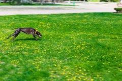 Hundspring i en parkera av brun färg och slät-haired Fotografering för Bildbyråer