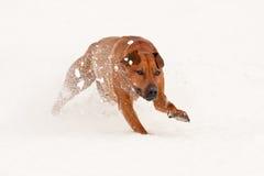 Hundspring i en snö Fotografering för Bildbyråer