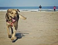 Hundspring i stranden Royaltyfri Fotografi