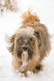 Hundspring och banhoppning för tibetan terrier i snön Royaltyfri Foto