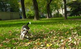 hundspring på en gräsplan parkerar royaltyfria bilder