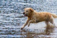 Hundspring på grunt lakeshore i Derwent vatten sjön, UK Royaltyfri Bild