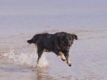 Hundspring på stranden Royaltyfri Foto