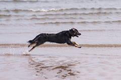 Hundspring på stranden Royaltyfri Fotografi