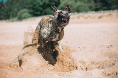 Hundspring på stranden amerikanska staffordshire terrier royaltyfria foton