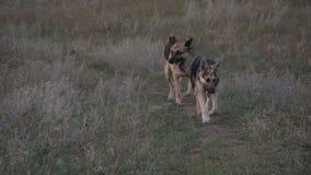 Hundspring på vägen stock video