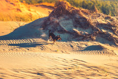 Hundspring till och med sand royaltyfria bilder