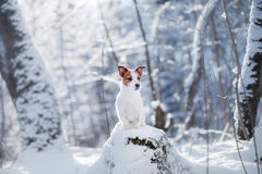 Hundstående av en Jack Russell terrier på naturen i vintersnö Royaltyfria Bilder