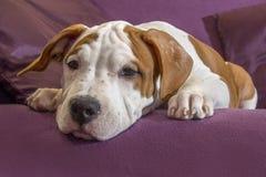 Hundstående för kopieringsutrymme och banerbruk Hundaveln är amerikanska Staffordshire Terrier, på purpurfärgad bakgrund Arkivfoton