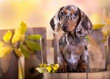 Hundstående i höstbakgrund Royaltyfri Bild
