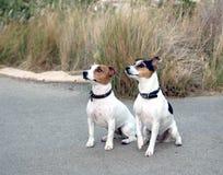 hundstålar russel Arkivfoton